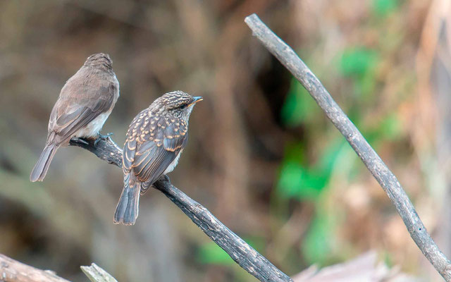 Swamp Flycatcher, Muscicapa aquatica. Adult and young