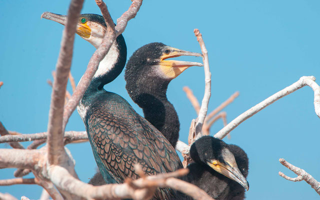 Grand cormoran, Phalacrocorax carbo