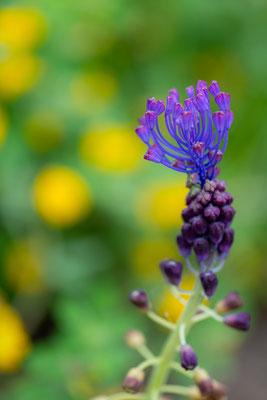 Muscari à toupet, Leopoldia comosa