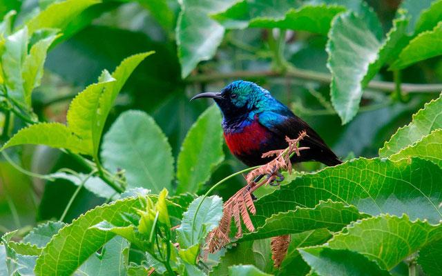 Marico Sunbird, Cinnyris mariquensis