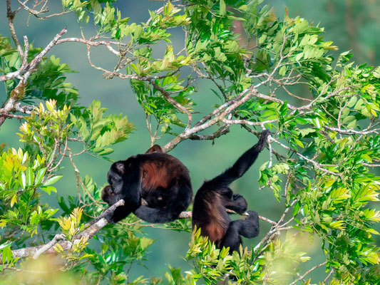 Hurleur à manteau, Alouatta palliata. Notre première observation de primates au Costa Rica
