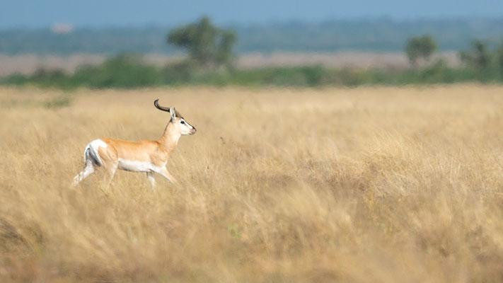 Speke's gazelle, Gazella spekei. Aledeghi reserve. Endemic to Horn of Africa