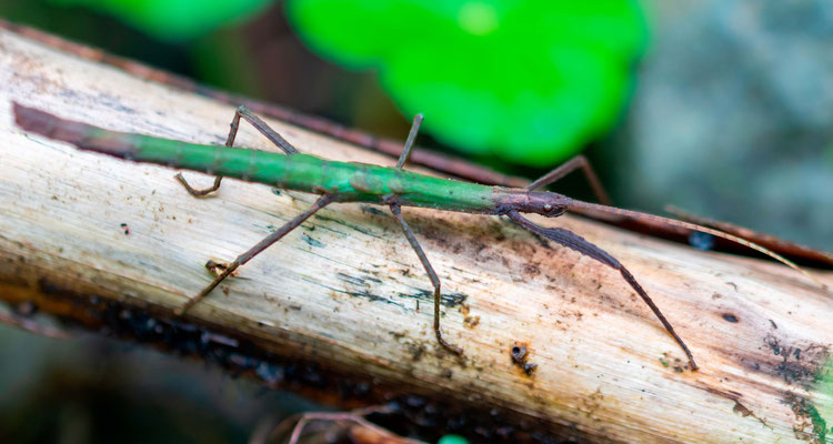 Undefined stick-bug
