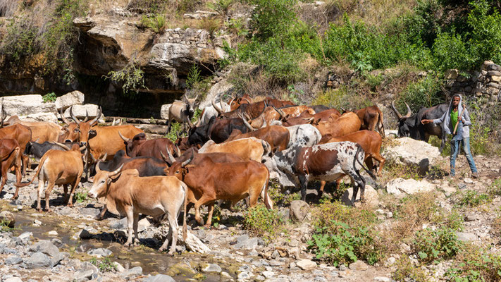 Small herd coming to drink
