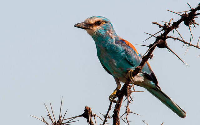 Abyssinian Roller, Coracias abyssinicus