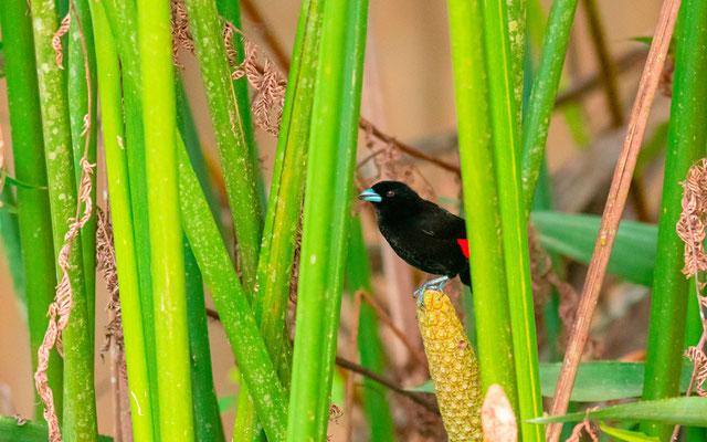 Tangara à croupion rouge, Ramphocelus passerinii mâle