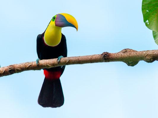 Black-mandibled Toucan, Ramphastos ambiguus, around Punta marenco lodge