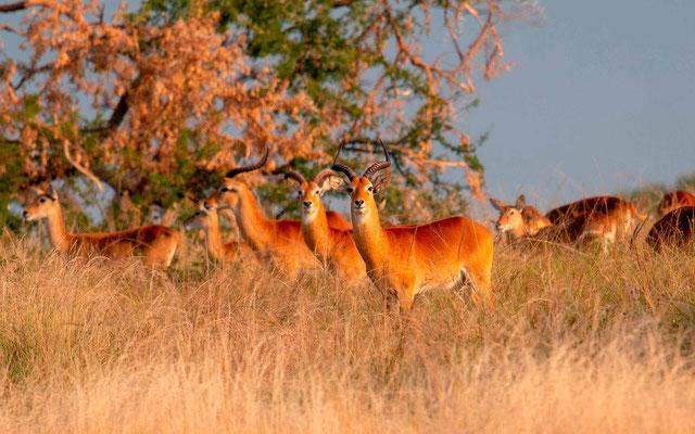 Cobe de l'Ouganda, Kobus kob thomasi