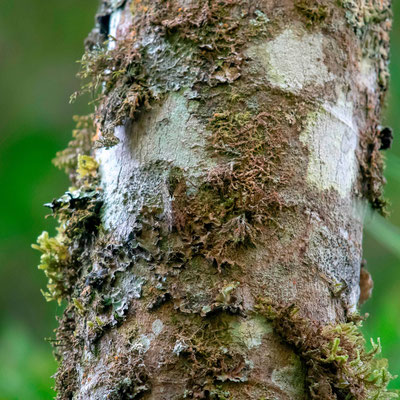 Mosses and lichens on trunk