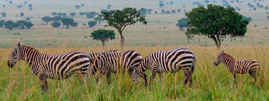 Group of Plains zebra , Equus quagga