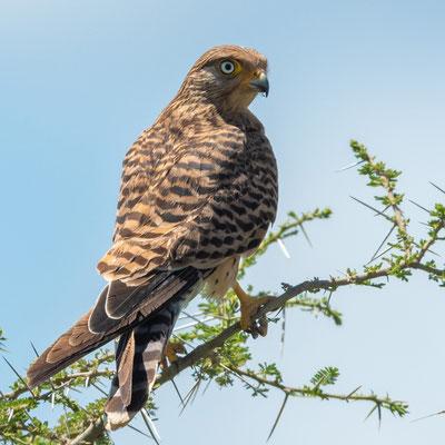 Crécerelle aux yeux blancs, Falco rupicoloides