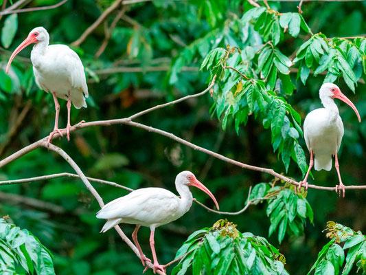 Ibis blanc, Eudocimus albus