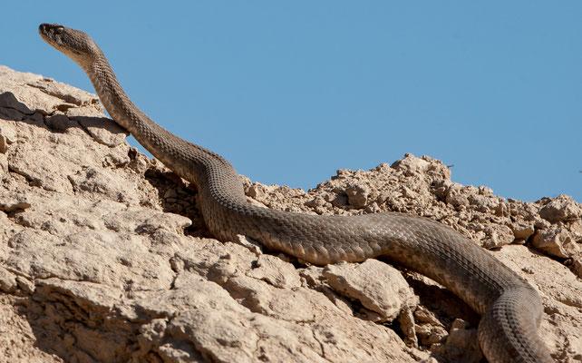 Vipère du Levant,  Macrovipera lebetina, serpent impressionnant! Golestan, Iran. Mai 2017