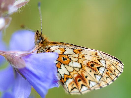 Jacob's-ladder , Polemonium caeruleum and undefined Butterfly