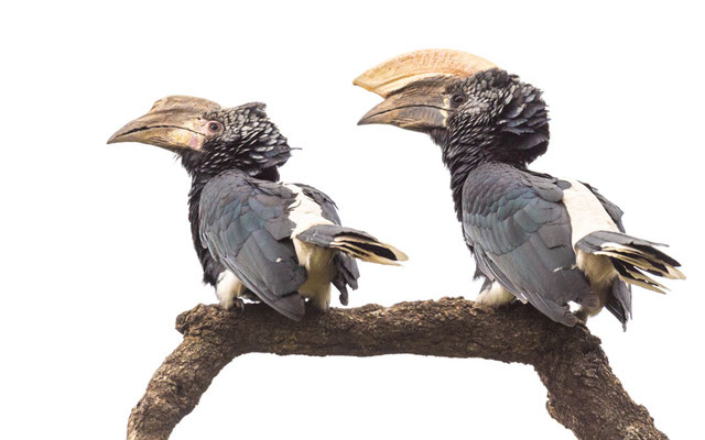 Silvery-cheeked Hornbill, Bycanistes brevis