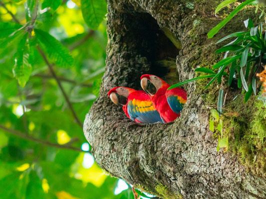 Ara rouge, Ara macao dans leur cavité, PN de Carara