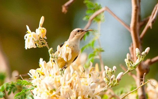 Beautiful Sunbird, Cinnyris pulchellus , femelle