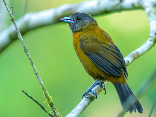 Scarlet-rumped Tanager, Ramphocelus passerinii, female