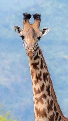 Portrait of a Masai Girafe, Giraffa tippelskirchii