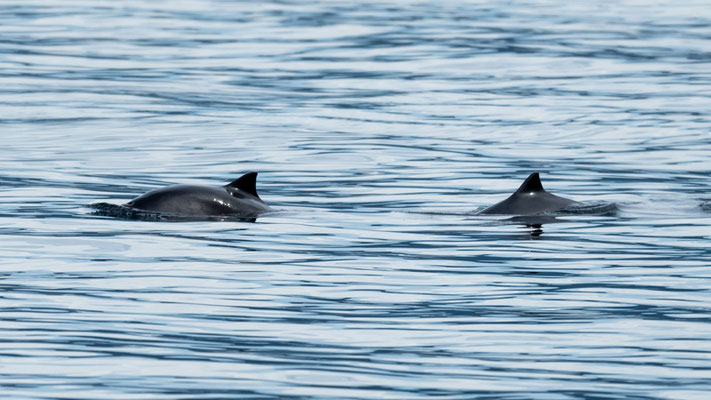 Undefined dolfins. At the foot of the cliffs.