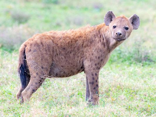 Hyène tachetée, Crocuta crocuta