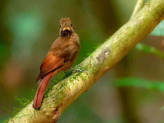 Grimpar à ailes rousses, Dendrocincla anabatina, PN de Carara