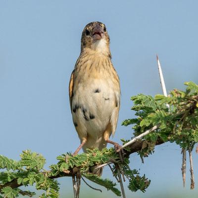 Red-billed Quelea, Quelea quelea female. Lake Basaka