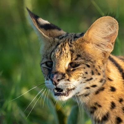 Serval portrait series, Leptailurus serval