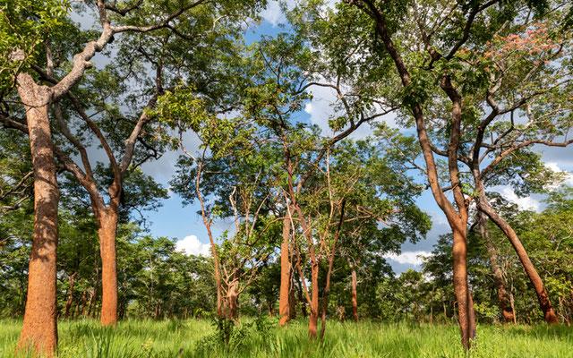 Encore un autre milieu naturel, une forêt très spécifique au sud Tanzanien appelée le Miombo.