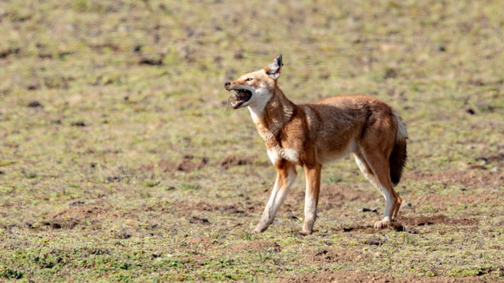 Loup d'Abyssinie, Canis simenso