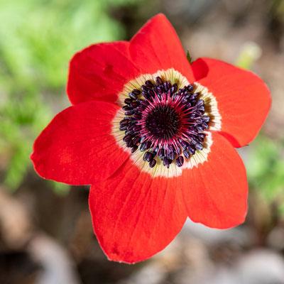 Poppy anemone,  Anemone coronaria