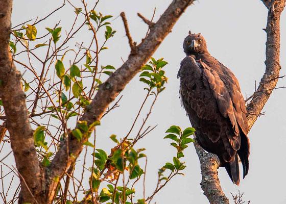 Long-crested Eagle , Lophaetus occipitalis