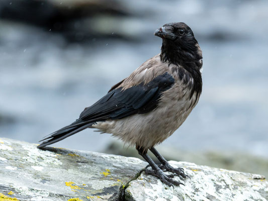 Corneille mantelée, Corvus cornix