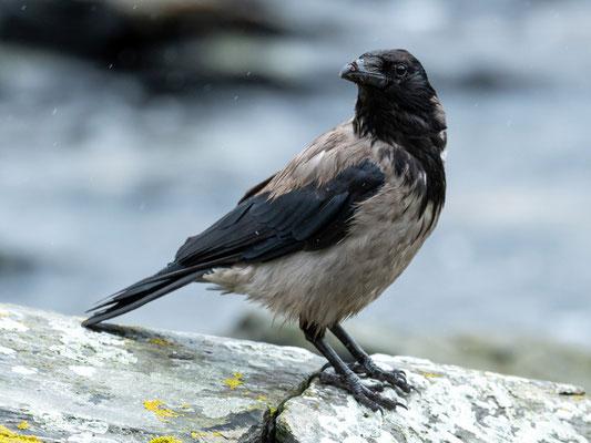 Hooded Crow, Corvus cornix