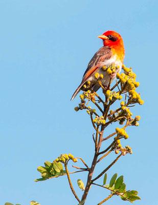 Red-headed Weaver, Anaplectes rubriceps
