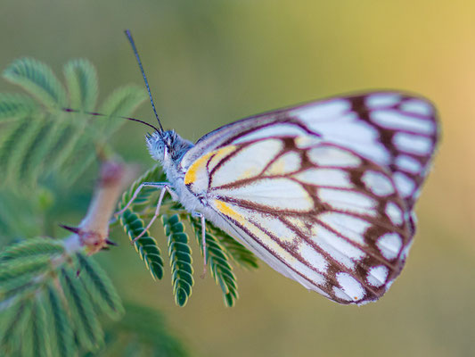 Undefined Butterfly. Awash National park