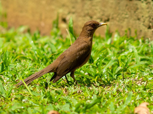 Merle fauve, Turdus grayi, adulte. L'oiseau national du Costa-Rica.