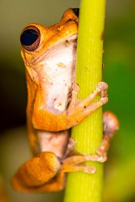 Hourglass Treefrog, Dendropsophus ebraccatus