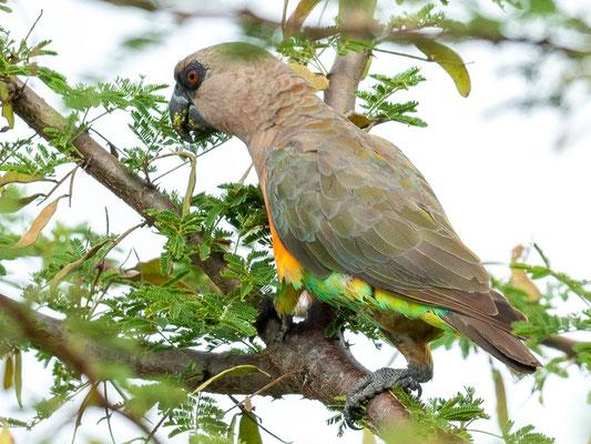 Perroquet à ventre rouge,  Poicephalus rufiventris