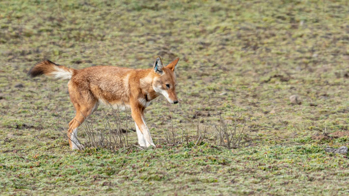 Ethiopian wolf, Canis simensis. Marked individual, as vaccinated against rabies.
