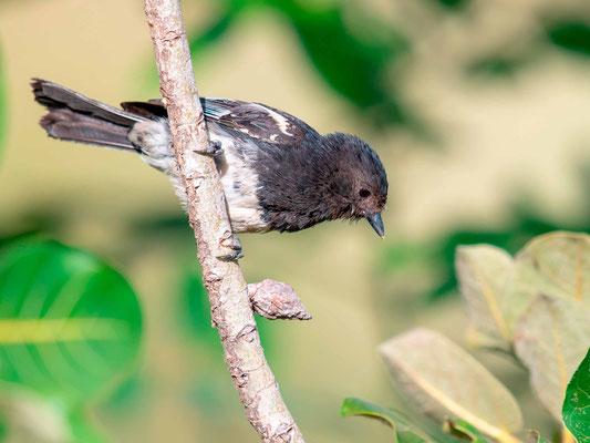 Mésange à ventre blanc, Parus albiventris