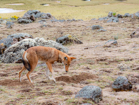 Ethiopian wolf, Canis simensis