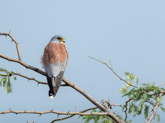 Faucon crécerellette, Falco naumanni. Réseve d'Aledeghi