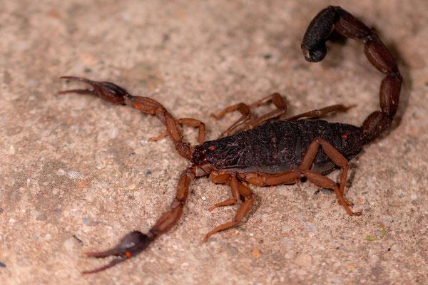 Scorpiones indéterminé