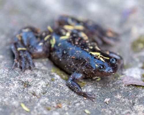 Mwanza Frog, Xenopus victorianus. Wetland around Kiboko Lodge.