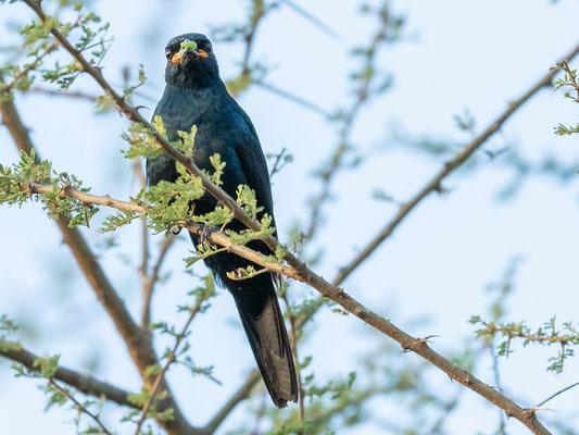 Black Cuckooshrike , Campephaga flava