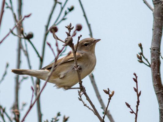 Garden Warbler, Sylvia borin