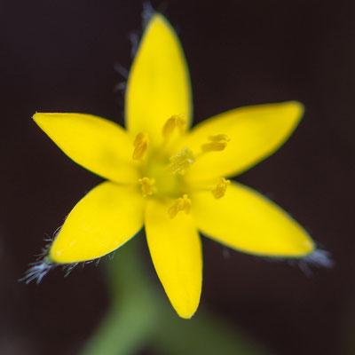 Fleur du genre Hypoxis.