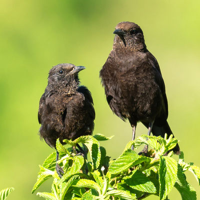 Couple de Traquet brun, Myrmecocichla aethiops