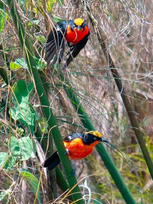 Gonolek des papyrus, Laniarius mufumbiri. Marais de Mporogoma, sud est du pays, en retournant à Entebbe